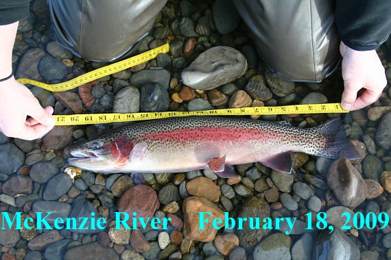 McKenzie River native rainbow, Michael Gorman photo, McKenzie River Fishing Guide